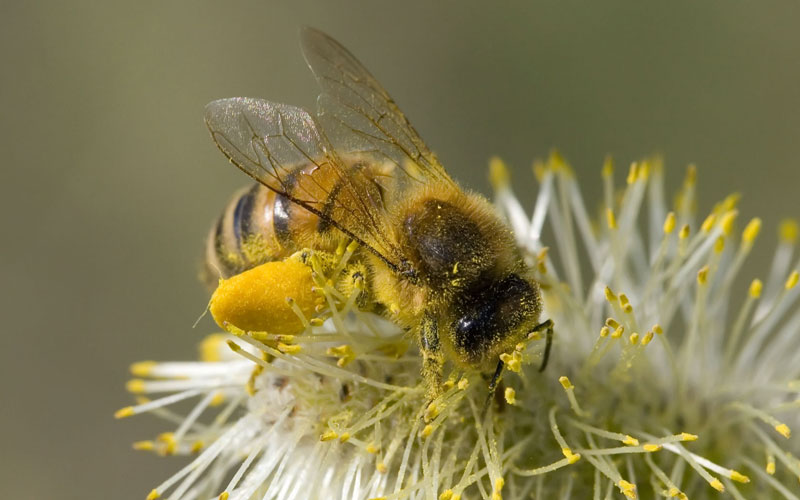 ong đang lấy phấn hoa