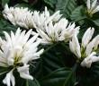 mùa hoa cà phê nở