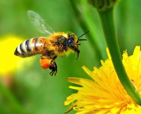 ong thợ lấy phấn hoa