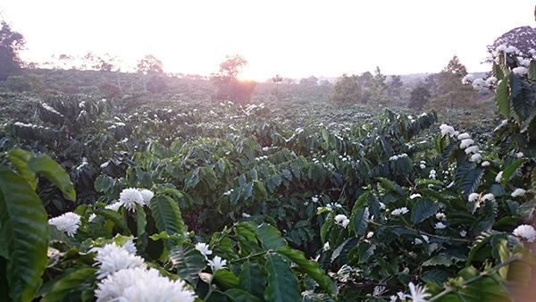 hoa nở trắng sau một đêm