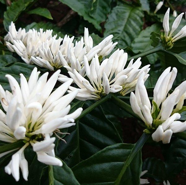 cận cảnh nụ hoa cà phê