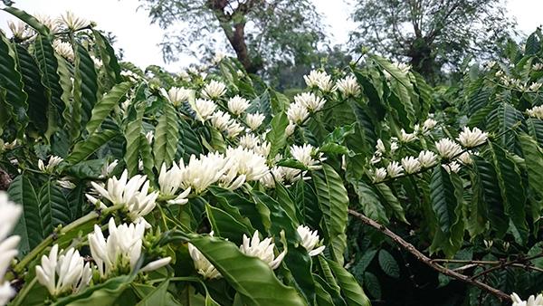 hoa cà phê đẹp