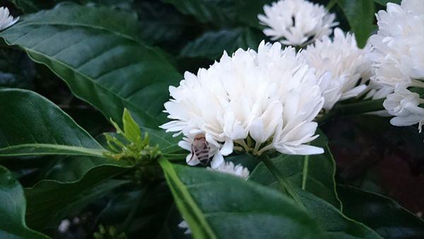 Phấn hoa mật ong Tây Nguyên