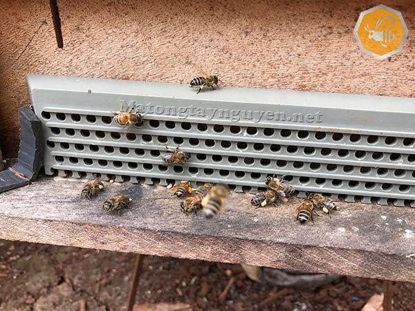 Thu hoạch phấn hoa mật ong năm 2017