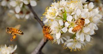 ong thu hoạch phấn hoa