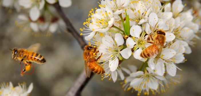Cách thu hoạch phấn hoa và những hiểu biết về phấn hoa rừng