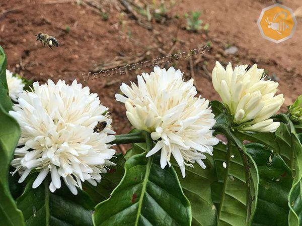 phấn hoa cà phê có màu vàng nhạt