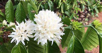 Ong thu mật hoa cà phê
