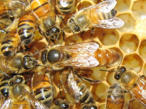 Vai trò của ong chúa