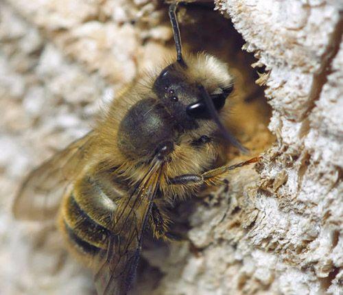 Vai trò của ong đực trong đàn ong