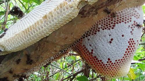 Kết quả hình ảnh cho mật ong không bị kiến bu