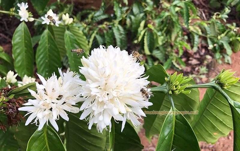 ong lấy phấn hoa cà phê