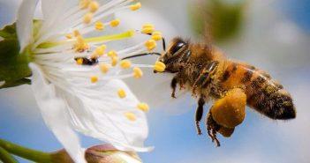 các loại phấn hoa ong