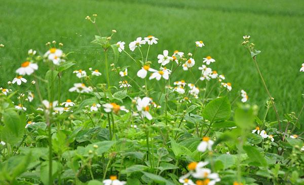 cây hoa xuyến chi