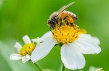 ong khai thác mật hoa xuyến chi