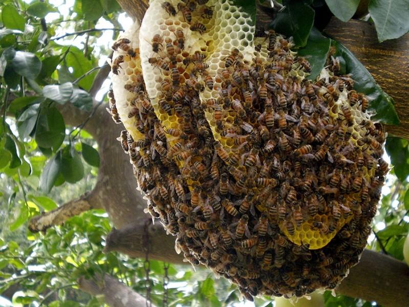 Tổ ong rừng Tây Nguyên