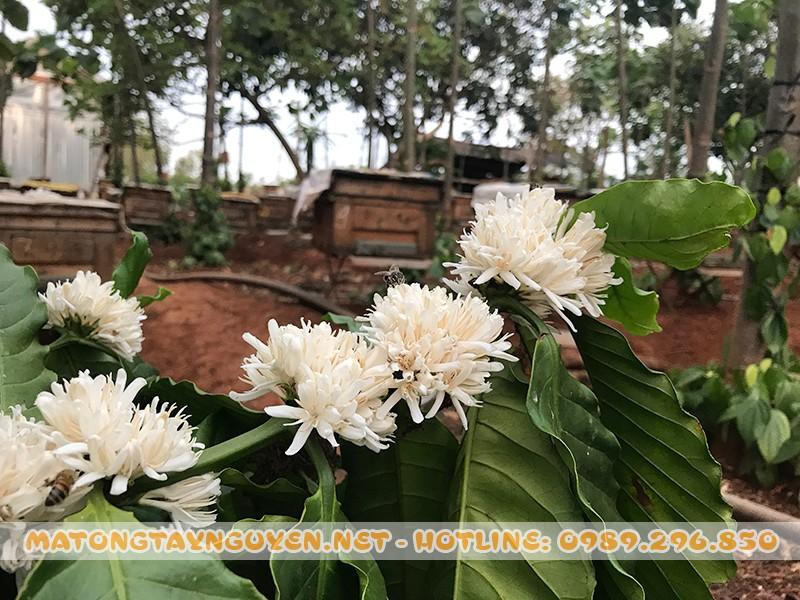 hoa cà phê tây nguyên