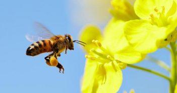Mùi vị của phấn hoa ong